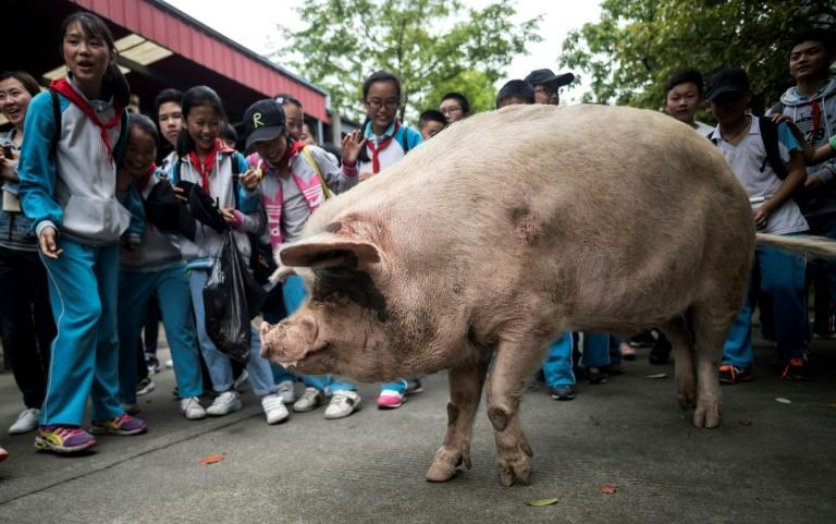 """Weibo users hailed it as """"the most famous pig in history"""""""