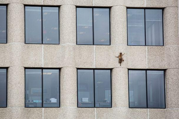 PHOTO: A raccoon scurries up the side of the UBS Tower in St. Paul, Minn., June 12, 2018. (Evan Frost/Minnesota Public Radio via AP)