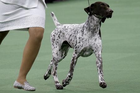 FILE PHOTO: Handler Valerie Nunez Atkinson runs with CJ, a German Shorthaired Pointer from the Sporting Group that won Best in Show, at the Westminster Kennel Club Dog show at Madison Square Garden in New York, U.S., February 16, 2016. REUTERS/Mike Segar/File Photo