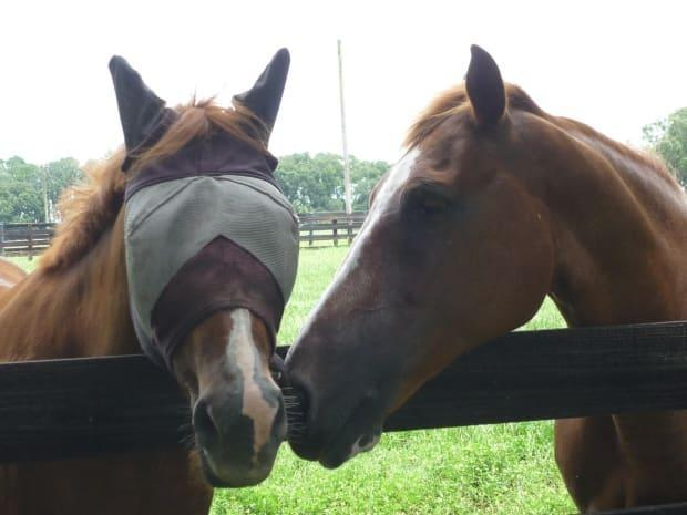 Strangles spreads through close contact between horses, which is one of the reasons for the lockdown at the Red Shores Racetrack.  (Submitted by Dr. Ben Stoughton - image credit)