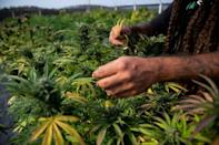 Brazilian agronomist Diogo Mantovanelli inspects cannabis plants at the Medical Cannabis Research and Patient Support Association (APEPI) production farm in Paty dos Alferes, Rio de Janeiro state, Brazil on September 9, 2021 (AFP/MAURO PIMENTEL)
