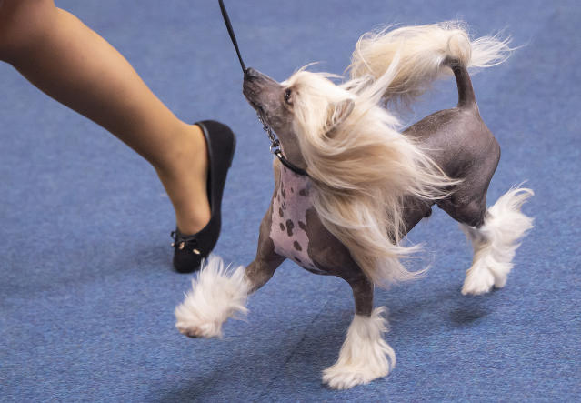 <p>Chinese Crested dog runs in the ring during an international dog and cat exhibition in Erfurt, Germany, June 16, 2018. (Photo: Jens Meyer/AP) </p>