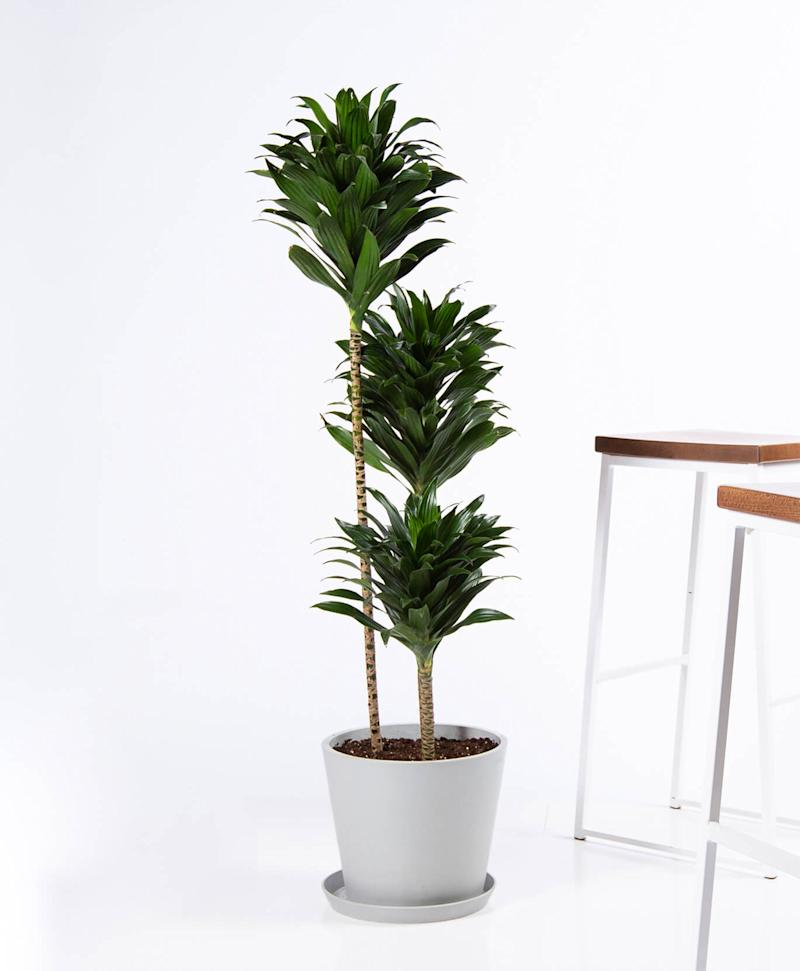 "54"" Dracaena Janet Craig in Pot (Credit: Bloomscape)"