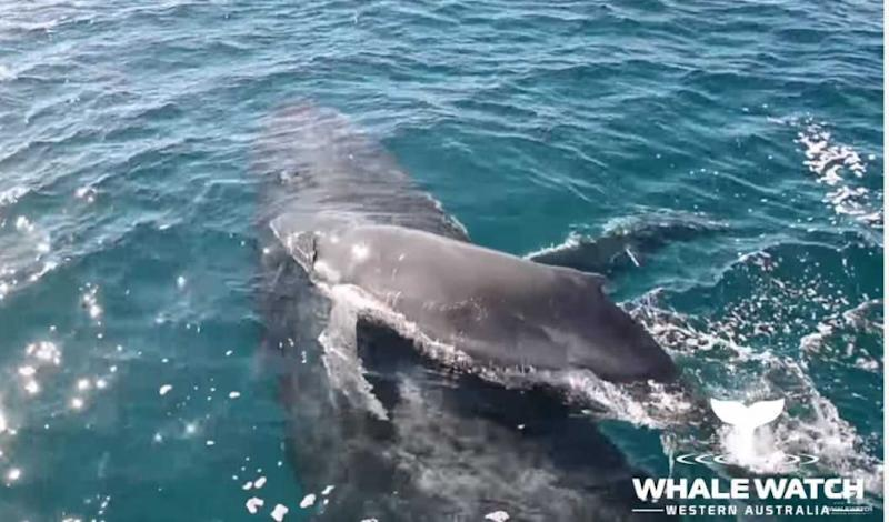 (圖/Whale Watch Western Australia YouTube)