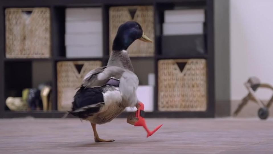 A duck with a non-functional leg uses a 3D-printed prosthetic to walk for the first time.