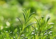 """<p> <br>This spiky herb, thanks to its particularly pungent scent, may help keep mosquitoes away, Troyano says. In fact, <a href=""""https://ecommons.cornell.edu/bitstream/handle/1813/56138/rosemary-oil-MRP-NYSIPM.pdf?sequence=1"""" rel=""""nofollow noopener"""" target=""""_blank"""" data-ylk=""""slk:research"""" class=""""link rapid-noclick-resp"""">research</a><br>has found that, when compared to 11 other essential oils, rosemary had the longest repellent effects on mosquitoes, and may even deter other insects like aphids and spider mites—just note that these results were all based on rosemary oil.<br></p>"""
