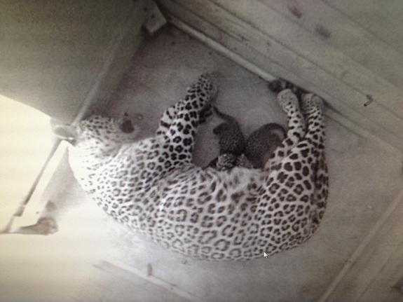 Two Rare Persian Leopard Cubs Born in Russia