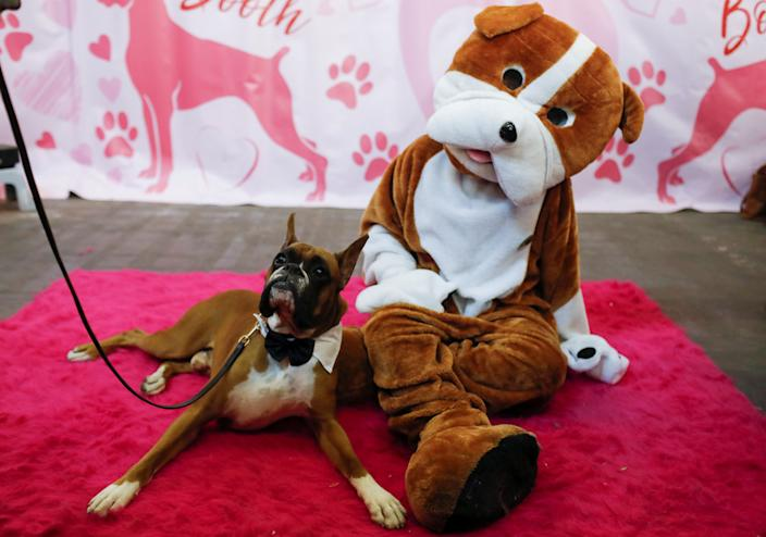 Devo, a boxer, sits with a person in a dog costume in the boxer breed booth during the AKC Meet the Breeds event ahead of the 143rd Westminster Kennel Club Dog Show in New York, Feb. 9, 2019. (Photo: Andrew Kelly/Reuters)