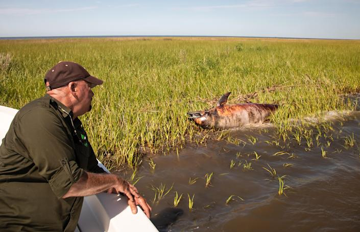 """George Ricks next to a dead dolphin in Breton Sound off St. Bernard Parish. Dolphins began to die off without explanation in spring 2019, not long after the opening of the Bonnet Carre Spillway.This week, the """"unexplained die-off"""" was linked to river water flooding. (Photo: Julie Dermansky)"""