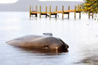 The body of a dead Pilot Whale is seen at Macquarie Harbour on September 24, 2020 in Strahan, Australia. (Photo by Steve Bell/Getty Images)