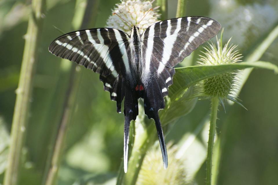 <p><strong>Zebra Swallowtail </strong></p><p>Tennessee is either entirely filled with bugs, or a super indecisive state. They've got two official state insects (the Common Eastern Firefly and the 7-Spotted Ladybug), a state agricultural insect (the European honey bee) and a state butterfly (Zebra Swallowtail). Pick a bug, Tennessee! <br></p>