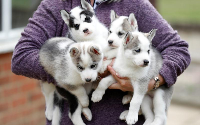 Four Siberian Husky puppies are held by their breeder - REUTERS