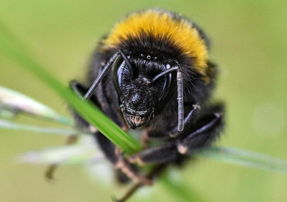 A bumblebee shows its teeth sitting on a blade of grass on a warm spring Monday, May 27, 2019 in a garden in Gelsenkirchen, Germany. (AP Photo/Martin Meissner)