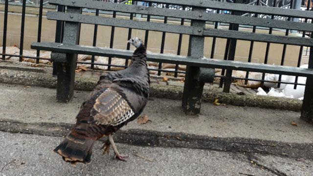Zelda The Turkey Appears in NYC