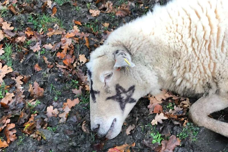 The dead sheep had occult symbols painted on its wool coat: PA