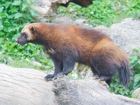 Wolverine tranquilised at Newark airport after chewing through metal cage