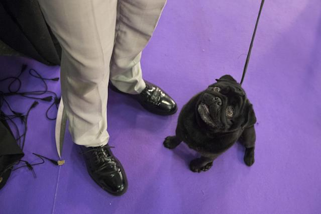 <p>Nephie, a pug, keeps an eye on her handler Andrew Mueller, of Seattle, as they wait to compete in the Junior showmanship category during the 141st Westminster Kennel Club Dog Show, Tuesday, Feb. 14, 2017, in New York. (AP Photo/Mary Altaffer) </p>