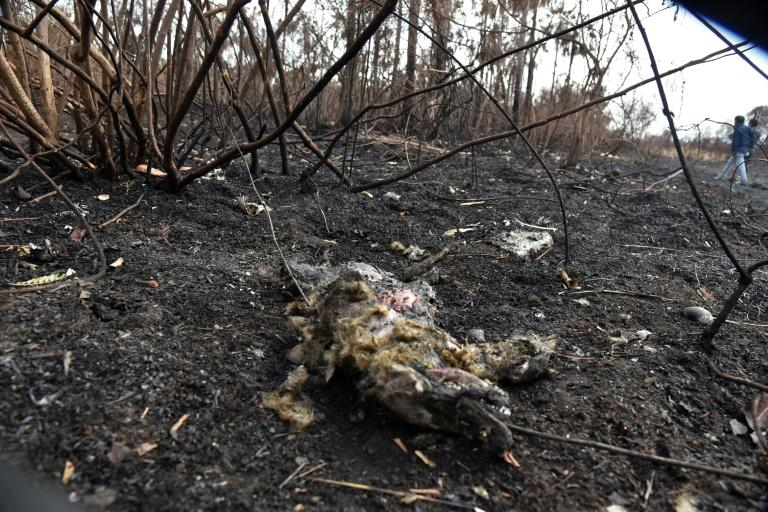 The remains of a fox killed in a forest fires in the Otuquis National Park in eastern Bolivia (AFP Photo/Aizar RALDES)