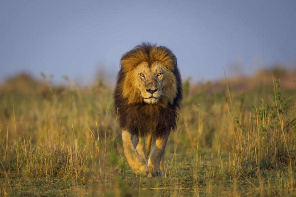 A lion crosses the plains of the Liuwa Plain National Park, Zambia. (Photo: Will Burrard-Lucas/Caters News)