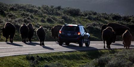 FILE PHOTO -  A car is stopped by a herd of bison crossing the highway in Yellowstone National Park, Wyoming, U.S. on June 8, 2013.   REUTERS/Jim Urquhart/File Photo