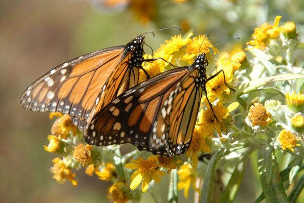 """A pair of monarch butterflies seen in a still from the 3D movie """"Flight of the Butterflies,"""" which opens on Oct. 1, 2012."""