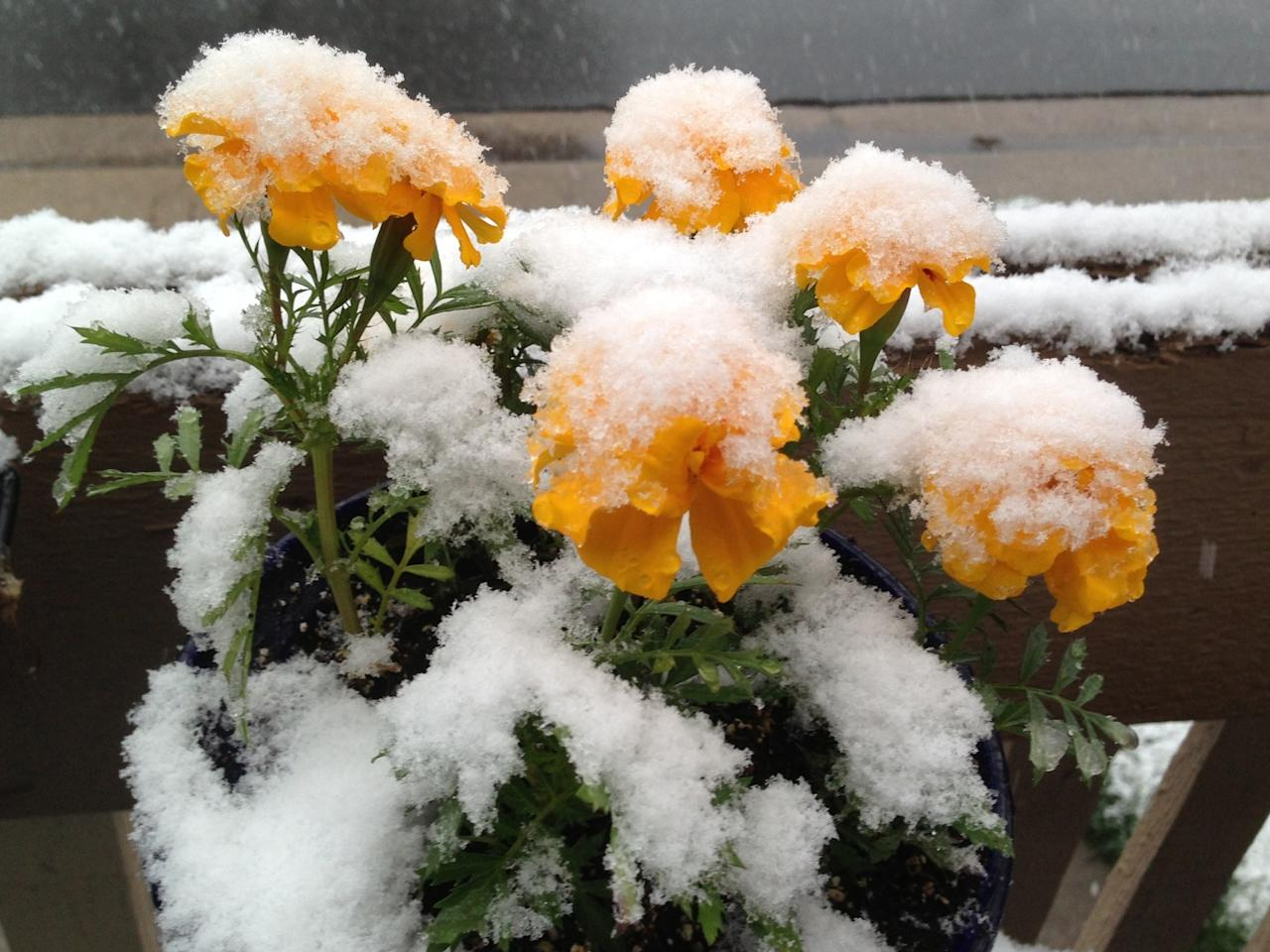Snow clings to flowers in Denver on Wednesday May 1, 2013. As much as a foot of snow is forecast for some areas of Colorado. (AP Photo/Ed Andrieski)