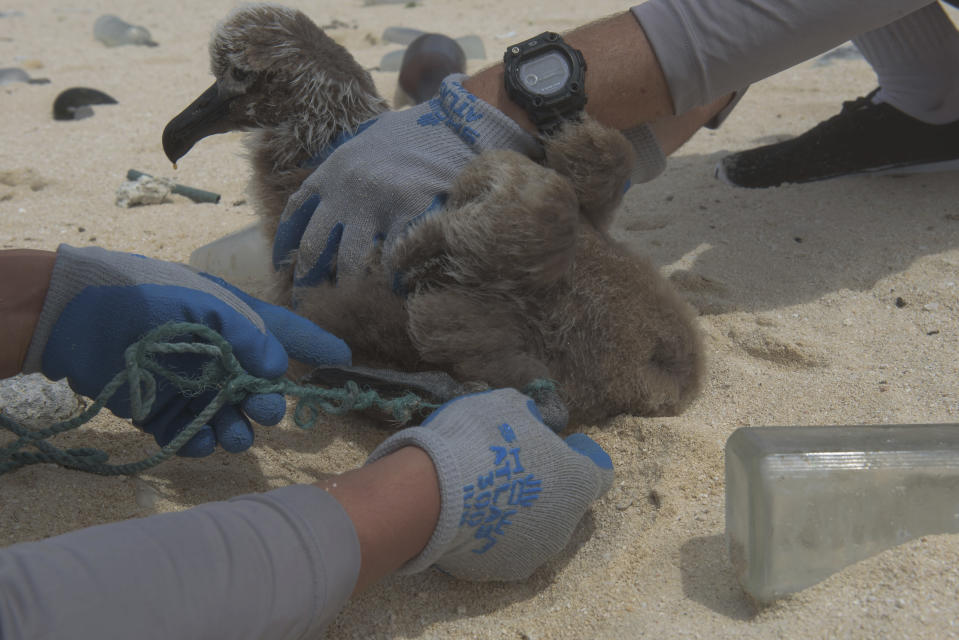 In this April 5, 2021 photo provided by James Morioka, Kevin O'Brien, left, and Joao Garriques disentangle a black footed albatross chick on Laysan Island in the Northwestern Hawaiian Islands. A crew has returned from the remote Northwestern Hawaiian Islands with a boatload of marine plastic and abandoned fishing nets that threaten to entangle endangered Hawaiian monk seals and other marine animals on the tiny, uninhabited beaches stretching for more than 1,300 miles north of Honolulu. (James Morioka, Joint Institute for Marine and Atmospheric Research/NOAA Pacific Islands Fisheries Science Center via AP)