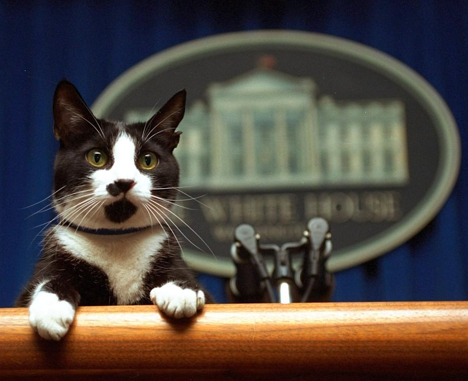 President Bill Clinton's cat, Socks, who was Chelsea Clinton's pet, peers over the podium in the White House briefing room in March 1994.
