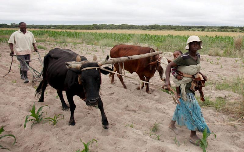 ommunal farmers lead cattle as they plant maize crops in Mvuma district, Masvingo, Zimbabwe January 26, 2016 - Credit:  Philimon Bulawayo/ REUTERS