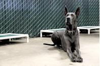 "<p><strong>State Dog: Great Dane </strong></p><p>These hunting and working dogs have been a favorite since the frontier days, and <a href=""https://www.pa.gov/guides/state-symbols/"" rel=""nofollow noopener"" target=""_blank"" data-ylk=""slk:Pennsylvania founder William Penn had a pet Great Dane."" class=""link rapid-noclick-resp"">Pennsylvania founder William Penn had a pet Great Dane.</a></p>"