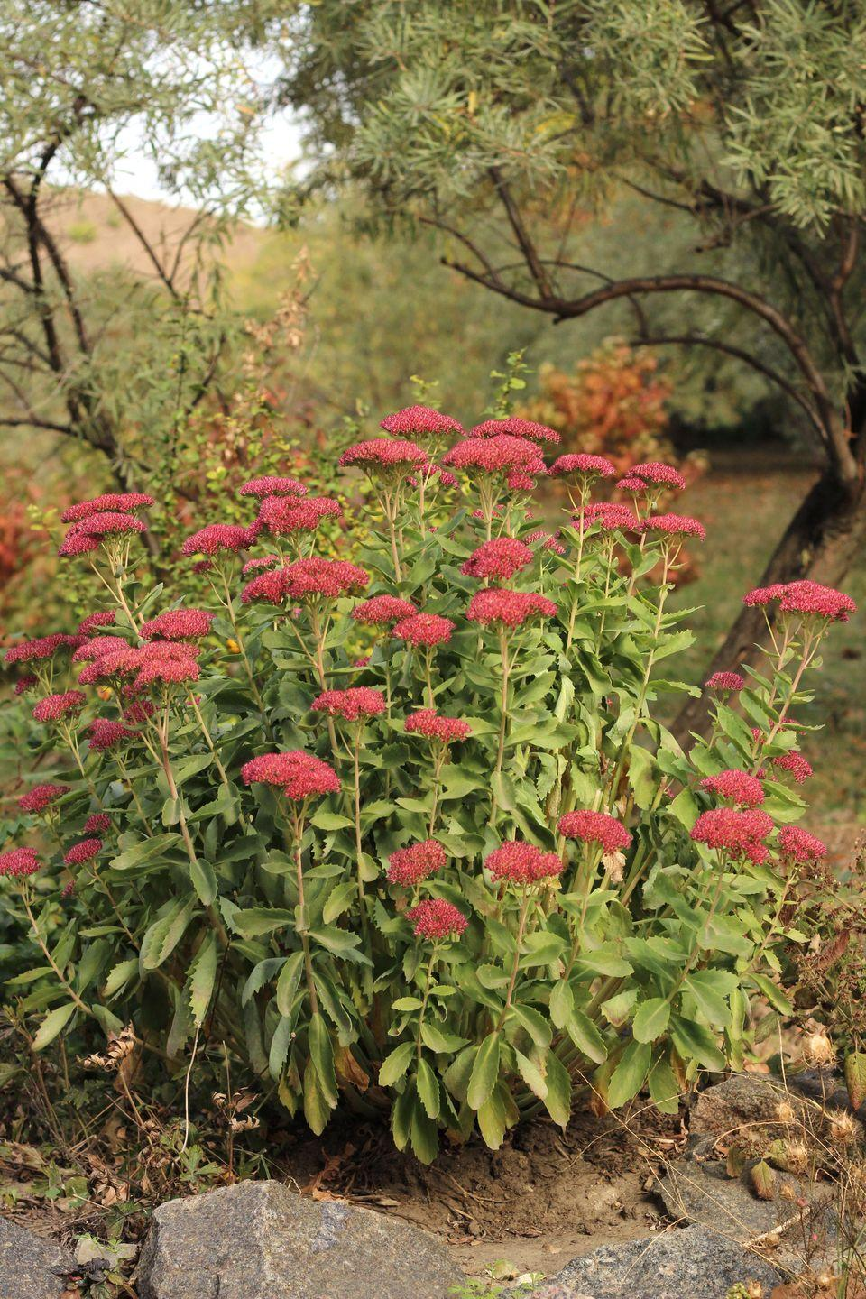 """<p>These vibrant stems—which also bloom in a pretty purple or pink hues—will brighten up every chilly day. Binetti adds that the tall plant """"attracts butterflies and bees and is a great pollinator.""""</p><p><strong>Zones: 3-9</strong></p>"""