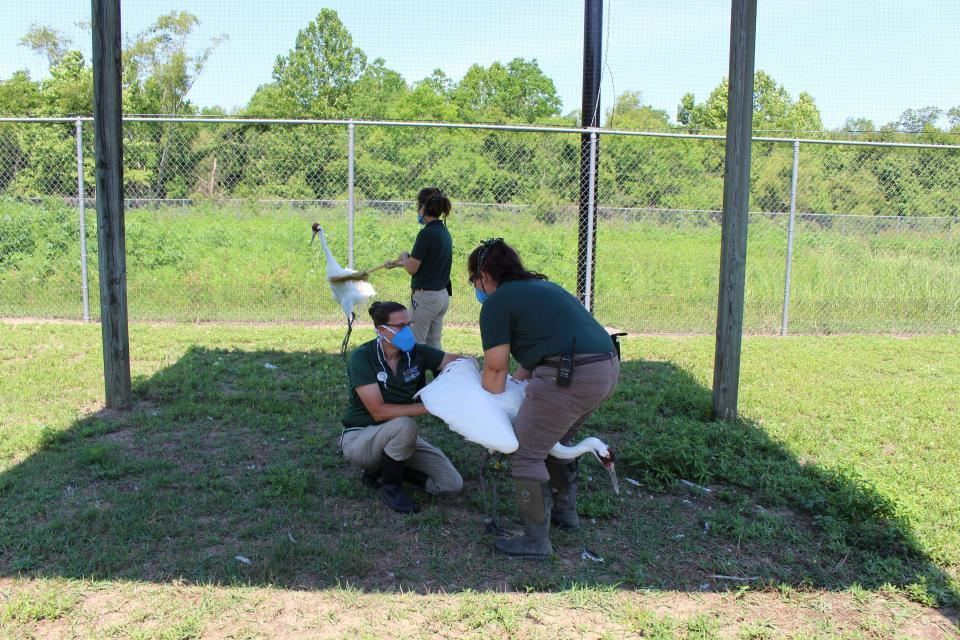 In this photo provided by the Audubon Nature Institute, Heather Holtz takes semen from an endangered whooping crane for artificial insemination on Sunday, May 31, 2020, while Elyssa Buch holds the bird at the institute's Species Survival Center in New Orleans. In the background, Hanna Carter keeps the female crane from trying to protect her mate. Because of money losses and staff cutbacks due to the COVID-19 pandemic, Audubon is using the technique only for its most genetically valuable birds. (Audubon Nature Institute via AP)