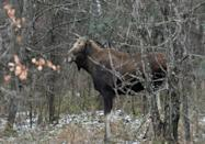 Chernobyl has also become a haven for elks, and other fauna including wolves