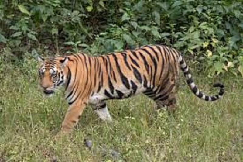 Without Food for 10 Days, Dudhwa Tigress Dies Slow Death with Wire Trap Around Neck