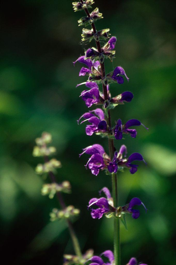 """<p>The salvia plant, more commonly known as meadow sage, often produces rich purple and royal blue <a href=""""https://www.housebeautiful.com/entertaining/flower-arrangements/g3723/fall-flower-arrangements-centerpieces/"""" rel=""""nofollow noopener"""" target=""""_blank"""" data-ylk=""""slk:flowers"""" class=""""link rapid-noclick-resp"""">flowers</a> that also come in various warmer shades. They thrive in hot, dry conditions.</p><p><strong>Bloom season</strong>: Spring, summer, and fall</p><p><a class=""""link rapid-noclick-resp"""" href=""""https://www.americanmeadows.com/perennials/salvia/sage-blue-hill"""" rel=""""nofollow noopener"""" target=""""_blank"""" data-ylk=""""slk:SHOP MEADOW SAGE"""">SHOP MEADOW SAGE</a></p>"""