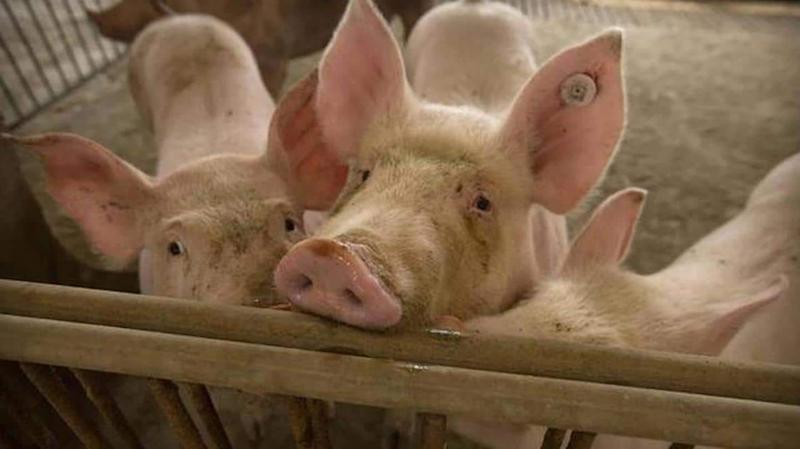 Assam: African swine fever spreads; government orders culling of pigs