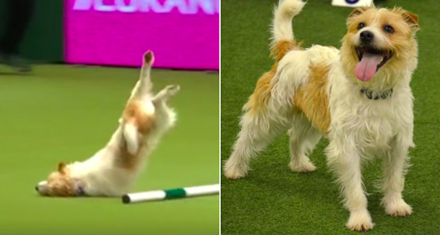 <em>Olly stumbled, nosedived and skidded along the ground during the display at Crufts (Blue Cross)</em>