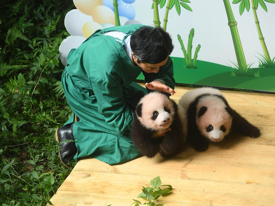 Zoo worker caring for giant panda twins