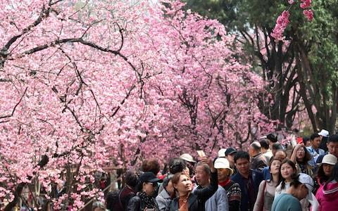 <span>People walk under cherry blossoms in Kunming, Yunnan province, China March 7, 2018.</span> <span>Credit: CHINA STRINGER NETWORK/Reuters </span>