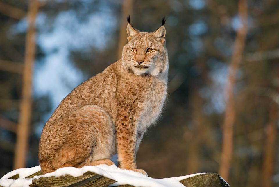 Lynx are notoriously shy and are rarely spotted by humans, even in areas where they live in relatively high numbersGetty