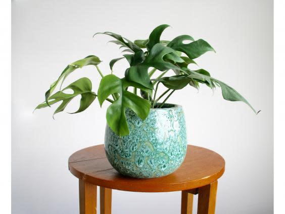 Boost your mood and space with lush green foliage (Canopy Plants)