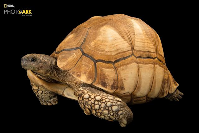 <p><strong>Critically endangered, fewer than 800 left in the wild</strong>. Photographed at the Turtle Conservancy in Ojai, California. (© Photo by Joel Sartore/National Geographic Photo Ark) <br><em> Support the Photo Ark and projects working to help save species</em><br><em> at PhotoArk.org and join the conversation on social media with</em><br><em> #SaveTogether.</em> </p>