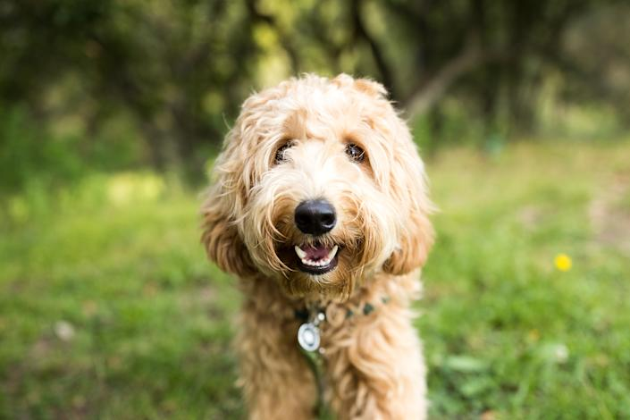 A happy Labradoodle dog stands and looks happily at the camera outdoors.