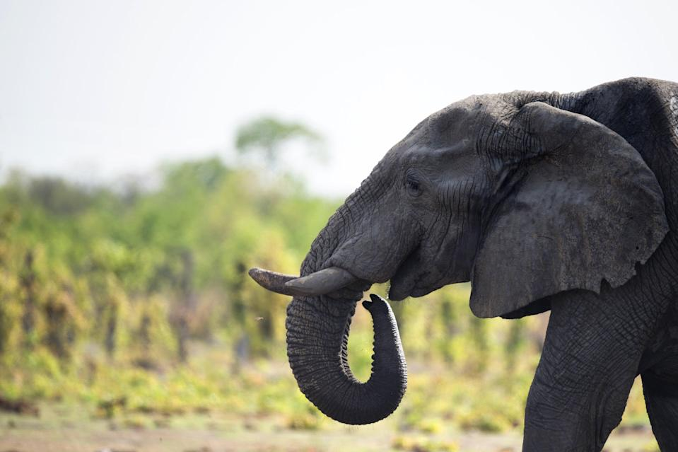 African elephants are at increasing risk of extinction, experts warn (AFP)