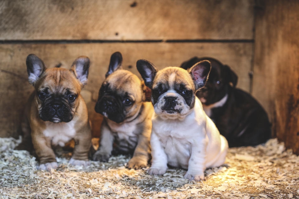 Trendy puppies could be at risk of overbreeding. (Getty Images)