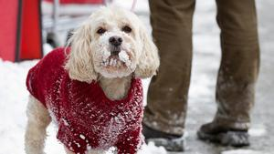 A dog braves the wintry weather in downtown Toronto on Thursday, after an onslaught of snow hit the city overnight and into the early morning.