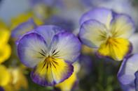 <p>In regions without frost at this time of year, such as Florida, February is a great time to plant cold-hardy annuals outside. The key is to choose a variety like pansy that can take a light frost, should temperatures drop </p>