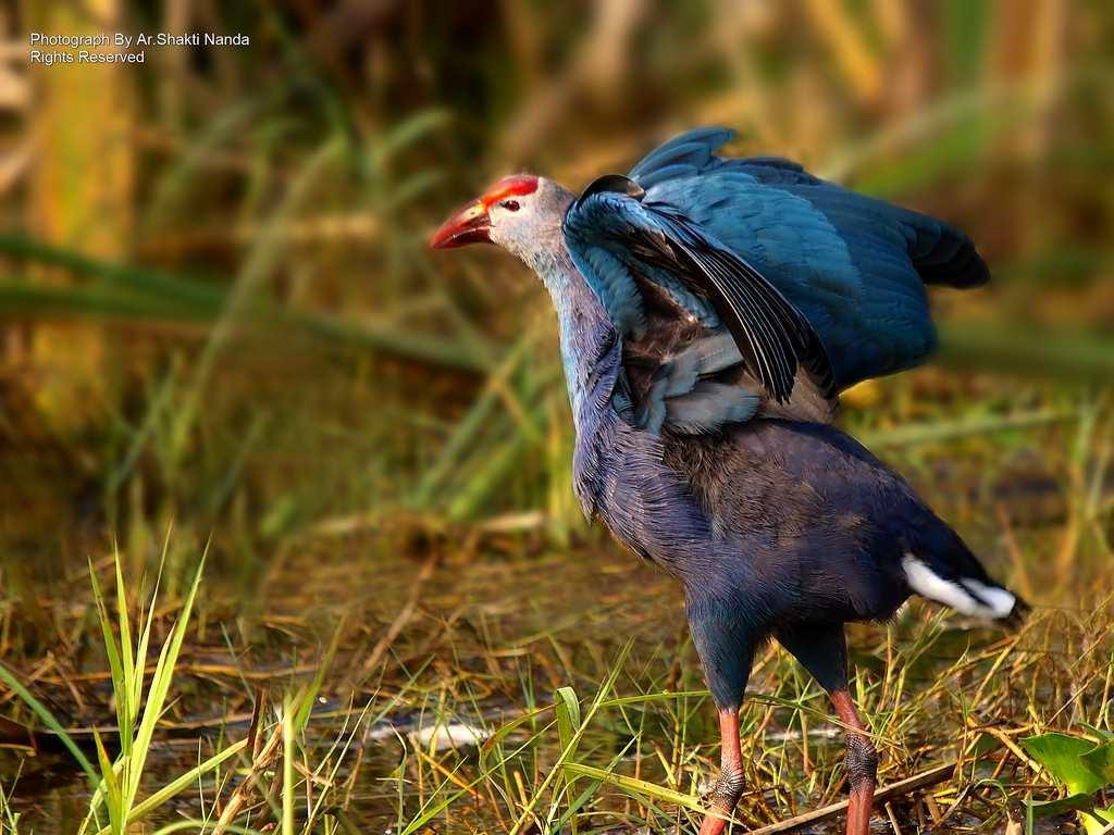The striking <strong>Purple Swamphen</strong> (<em>Porphyrio porphyrio</em>) is a member of the rail family, a group of birds that inhabit reedy swamps.