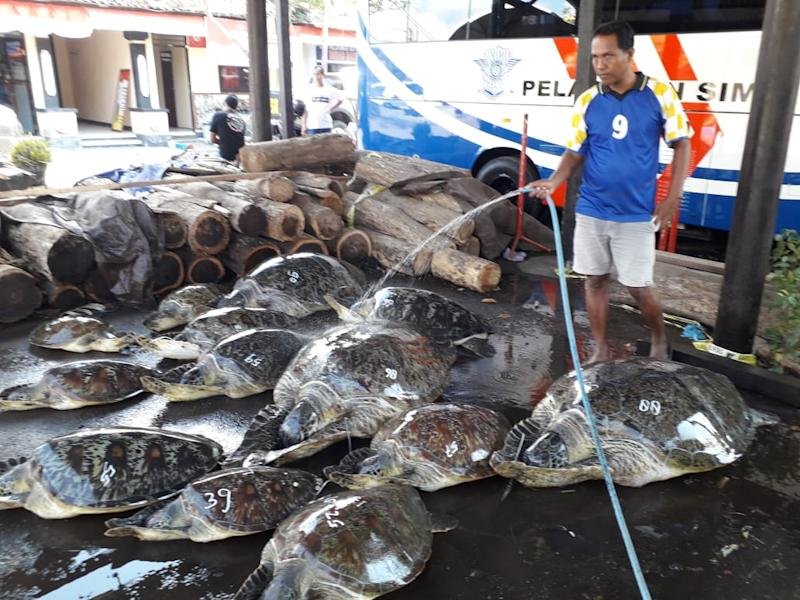 A man in shorts and a T-shirt hoses down sea turtles on the ground.