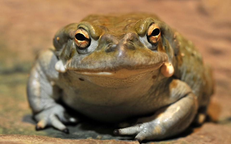 The effects of inhaling a toad's fumes has been known for centuries - EPA